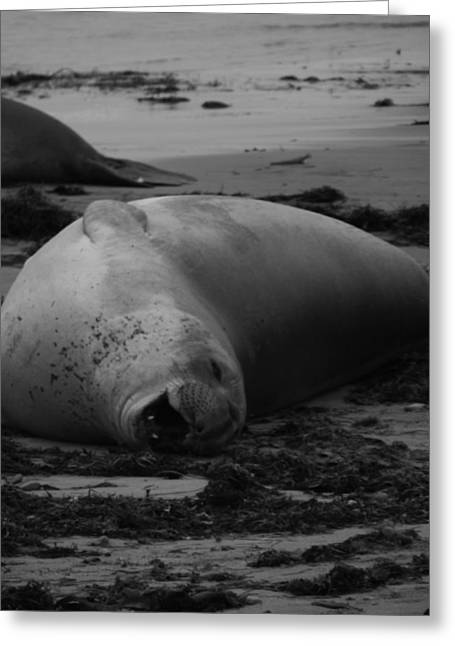 Ano Nuevo Photographs Greeting Cards - Elephant Seal Laughter Greeting Card by Gwendolyn Barnhart
