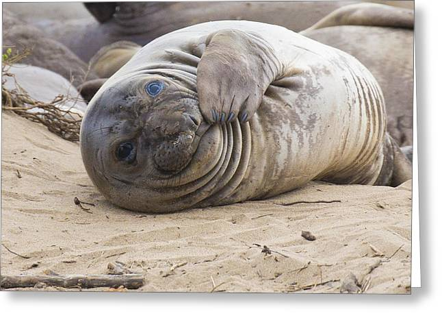 Ano Nuevo Greeting Cards - Elephant Seal Pup Greeting Card by Curt Lerner