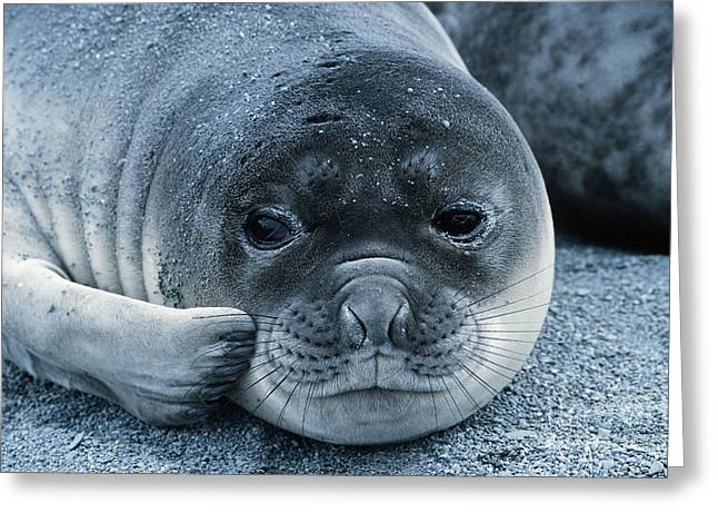 Ocean Mammals Greeting Cards - Elephant Seal Pup Greeting Card by Gregory G. Dimijian, M.D.