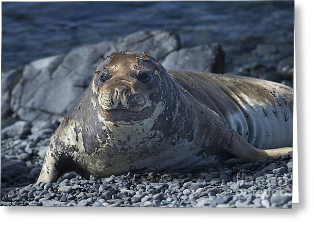 Elephant Seals Greeting Cards - Elephant Seal Pup... Greeting Card by Nina Stavlund