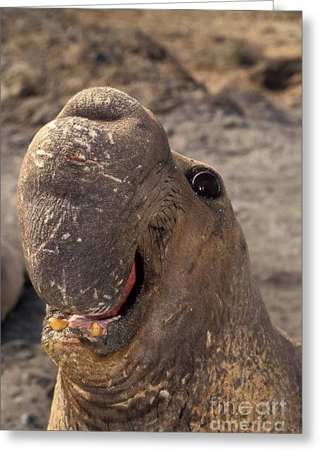 Elephant Seals Greeting Cards - Elephant Seal Greeting Card by Ron Sanford