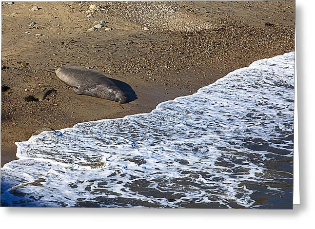 Elephant Seals Greeting Cards - Elephant Seal Sunning On Beach Greeting Card by Garry Gay