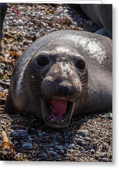 Elephant Seals Greeting Cards - Elephant Seal Greeting Card by Terry Cotton