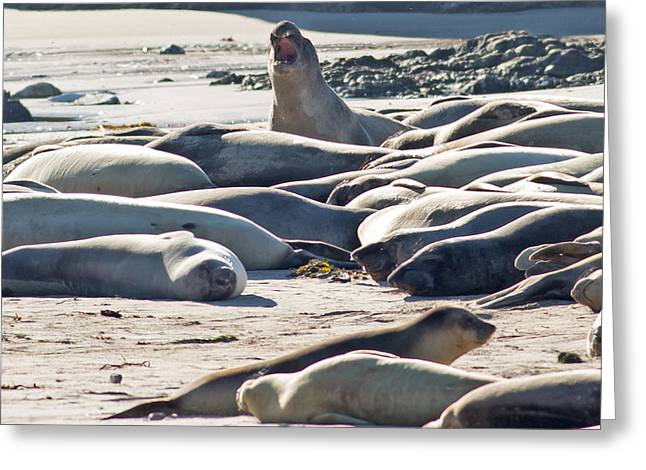 Ano Nuevo Photographs Greeting Cards - Elephant Seals at Ano Nuevo State Park California Greeting Card by Natural Focal Point Photography