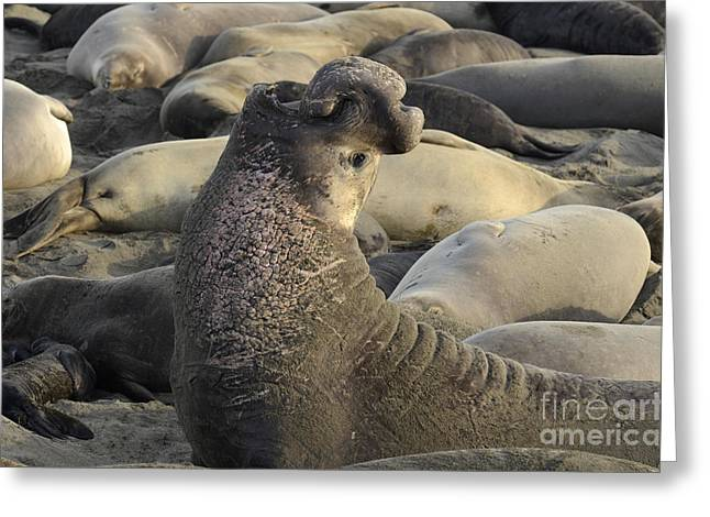 Mating Season Greeting Cards - Elephant Seals Greeting Card by Bob Christopher