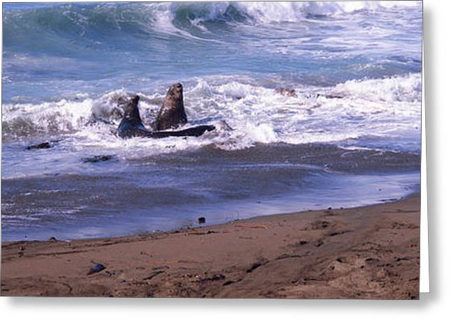 San Luis Obispo Greeting Cards - Elephant Seals In The Sea, San Luis Greeting Card by Panoramic Images