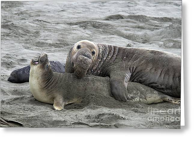 Ocean Mammals Greeting Cards - Elephant Seals Mating Greeting Card by Mark Newman