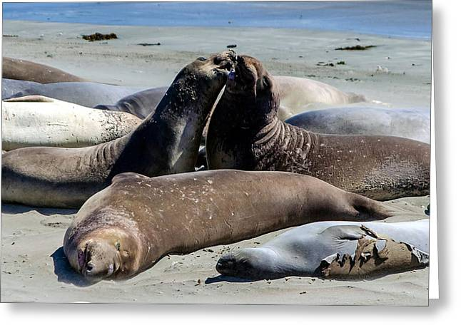 Elephant Seals Greeting Card by Mike Ronnebeck