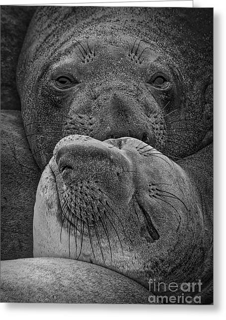 Elephant Seals Greeting Cards - Elephant Seals Greeting Card by Mitch Shindelbower