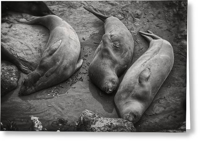 Cambria Greeting Cards - Elephant Seals Napping Greeting Card by Sandra Selle Rodriguez