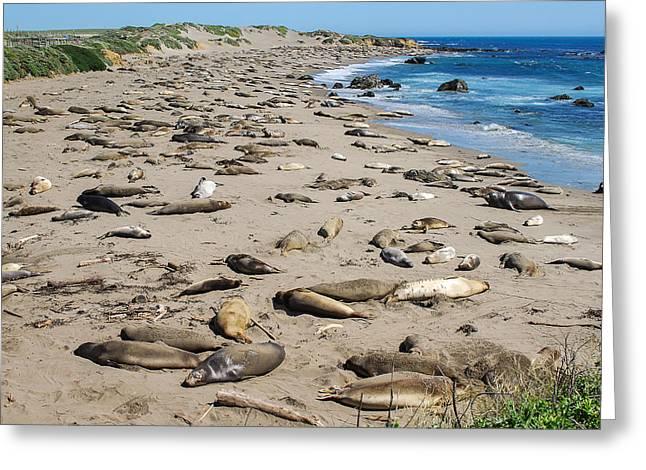 Elephant Seals Greeting Cards - Elephant Seals on Big Sur Beach Greeting Card by George Mann
