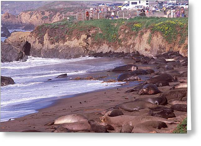San Luis Obispo Greeting Cards - Elephant Seals On The Beach, San Luis Greeting Card by Panoramic Images