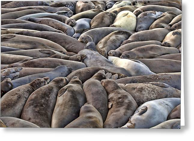 Elephant Seals Greeting Cards - Elephant Seals slumer party Greeting Card by Robert Jensen