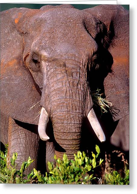 Feeding Greeting Cards - Elephant Tanzania Africa Greeting Card by Panoramic Images