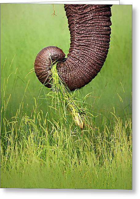 Eat Photographs Greeting Cards - Elephant trunk pulling grass Greeting Card by Johan Swanepoel