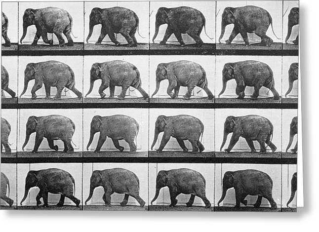Sequence Greeting Cards - Elephant Walking Greeting Card by Eadweard Muybridge