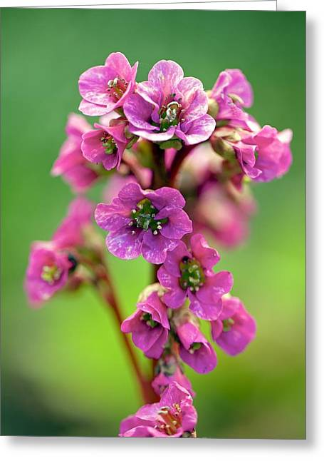 Elephant Ear Plant Greeting Cards - Elephants Ears (Bergenia Rotblum) Greeting Card by Science Photo Library