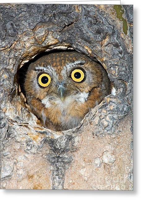 Catalina Mountains Greeting Cards - Elf Owl nesting in tree cavity Greeting Card by Craig K Lorenz