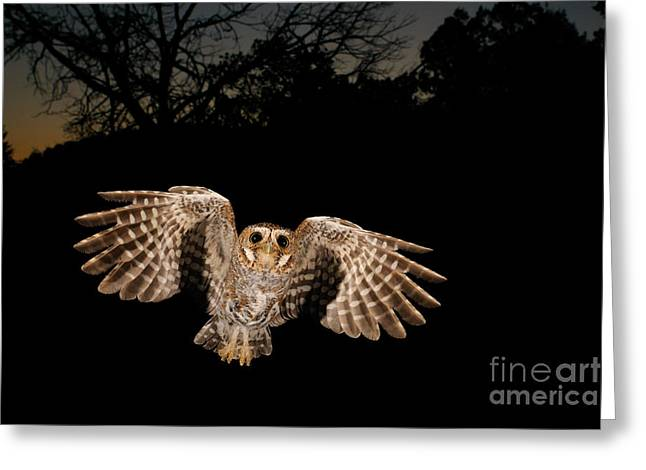 Birds In Flight At Night Greeting Cards - Elf Owl Greeting Card by Scott Linstead