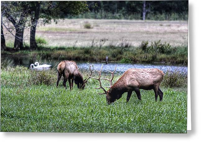 Boxley Valley Greeting Cards - Elk and Swans Greeting Card by Tony  Colvin