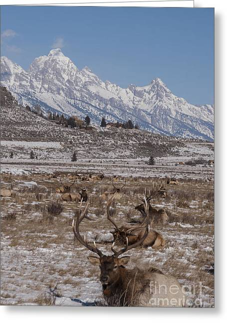Refuges Greeting Cards - Elk and the Grand Tetons Greeting Card by Juli Scalzi