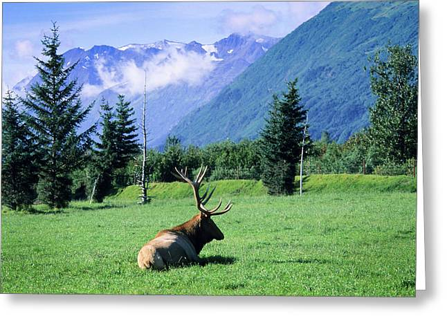 Elk Bull Laying Down In A Pristine Greeting Card by Angel Wynn