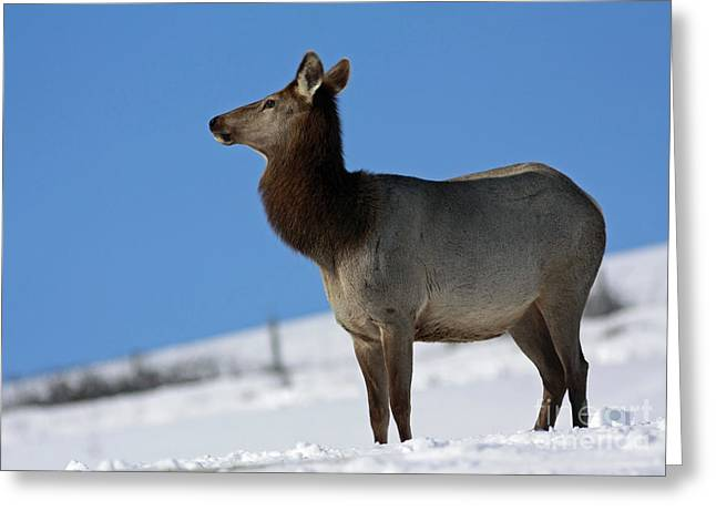 Shelley Myke Greeting Cards - Elk Homecoming  Greeting Card by Inspired Nature Photography By Shelley Myke