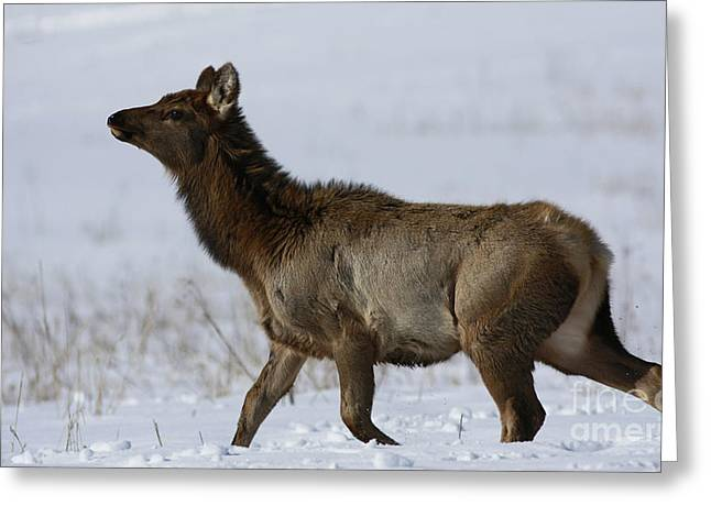 Shelley Myke Greeting Cards - Elk Movement Greeting Card by Inspired Nature Photography By Shelley Myke