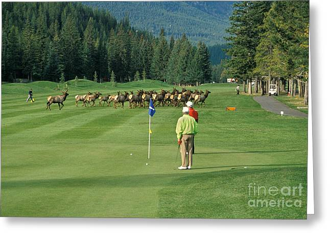 Harem Photographs Greeting Cards - Elk On The Golf Course Greeting Card by Ron Sanford