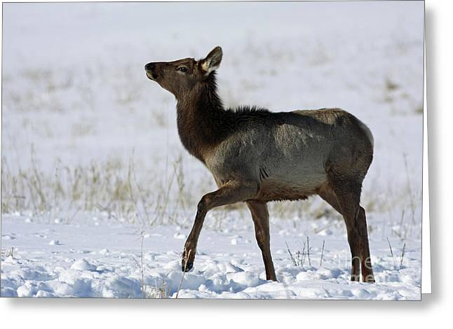 Shelley Myke Greeting Cards - Elk Prancing in the Snow Greeting Card by Inspired Nature Photography By Shelley Myke