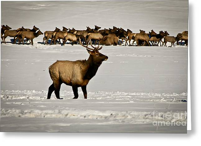Canon Greeting Cards - Elk Greeting Card by Stefano Carini