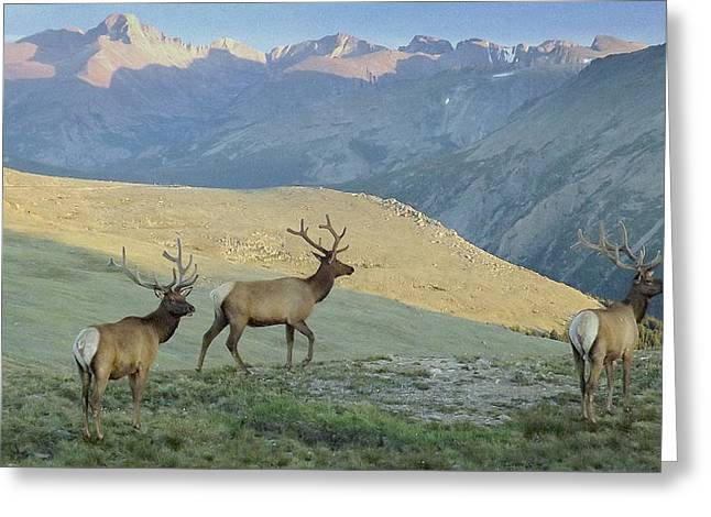 Elk Surprise.. Greeting Card by AL  SWASEY