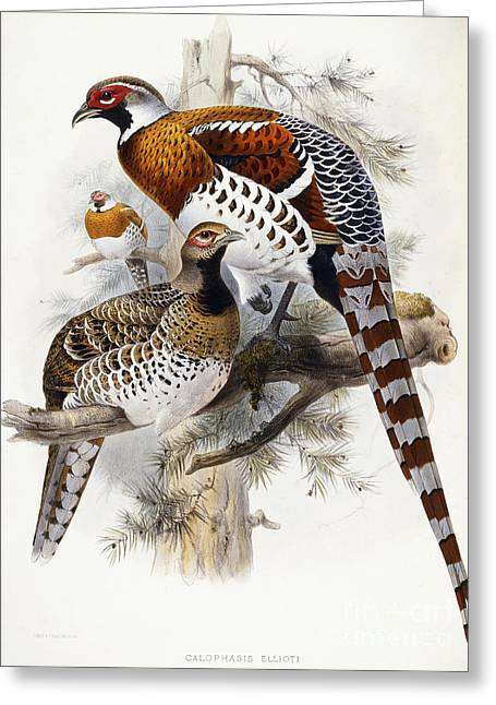 Striped Drawings Greeting Cards - Elliots Pheasant Greeting Card by Joseph Wolf