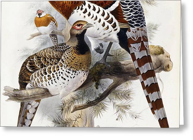 Elliot's Pheasant Greeting Card by Joseph Wolf