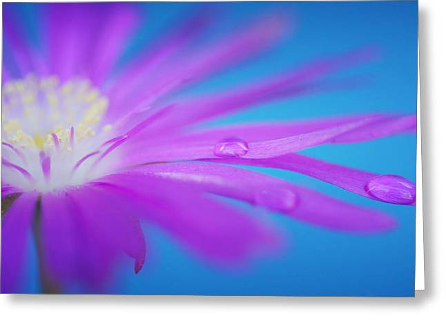 Asters Greeting Cards - Elongated Greeting Card by Fraida Gutovich