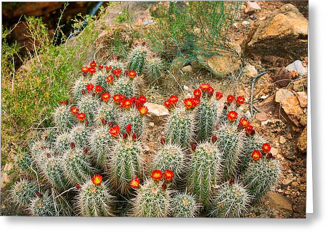 Geology Photographs Greeting Cards - Elves Chasm Cacti Greeting Card by Inge Johnsson
