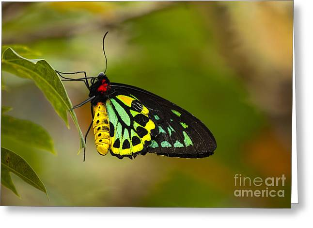 Butterflies Drawings Greeting Cards - Emerald Beauty Greeting Card by Mike  Dawson
