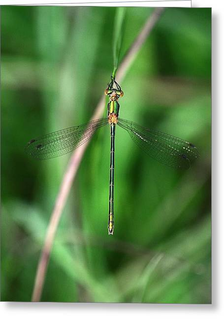 Emerald Damselfly Greeting Card by Colin Varndell