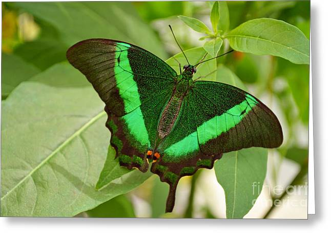 Fineartamerica Greeting Cards - Emerald Swallowtail Butterfly Greeting Card by Eva Kaufman