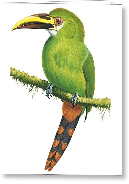 Flying Animal Greeting Cards - Emerald toucanet Greeting Card by Anonymous