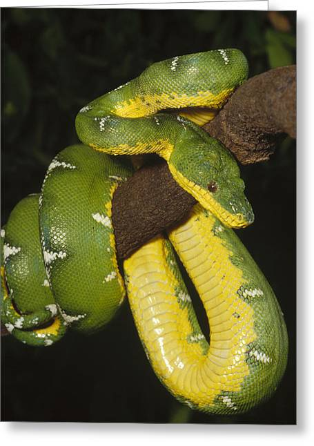 True Color Photograph Greeting Cards - Emerald Tree Boa Amazonia Greeting Card by Gerry Ellis