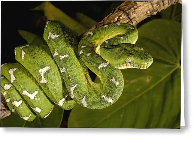 True Color Photograph Greeting Cards - Emerald Tree Boa Amazonian Ecuador Greeting Card by Pete Oxford