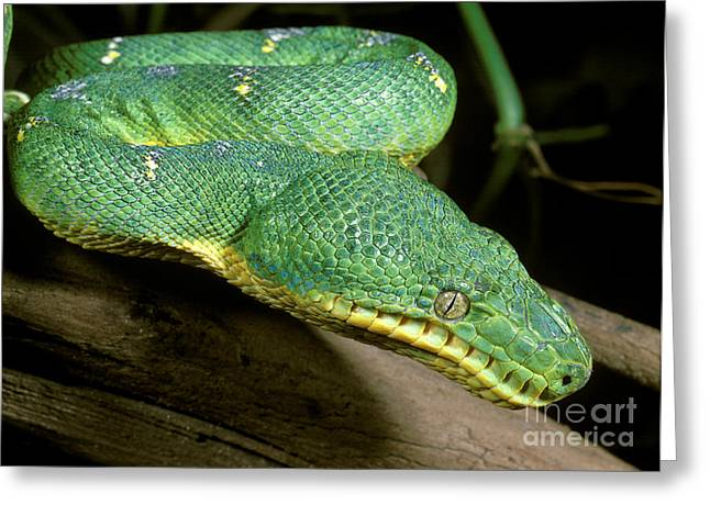 Constricting Greeting Cards - Emerald Tree Boa Greeting Card by ER Degginger