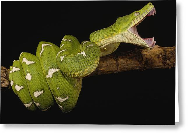 True Color Photograph Greeting Cards - Emerald Tree Boa Jaws Ecuador Greeting Card by Pete Oxford