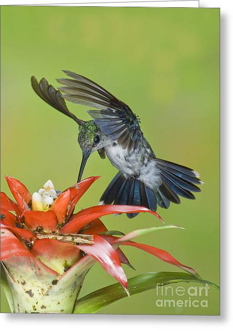 Bromeliad Greeting Cards - Emerald Woodnymph Greeting Card by Anthony Mercieca