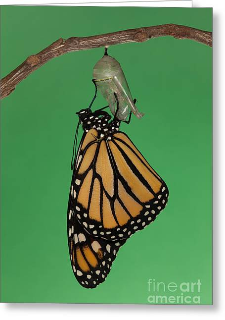 Pupa Greeting Cards - Emergence I Greeting Card by Clarence Holmes