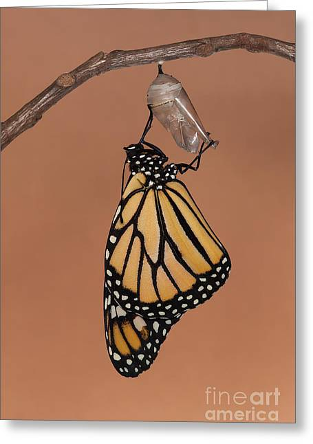 Pupa Greeting Cards - Emergence II Greeting Card by Clarence Holmes