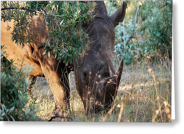 Rhinoceros Greeting Cards - Emerging from the Bush Greeting Card by Pamela Peters
