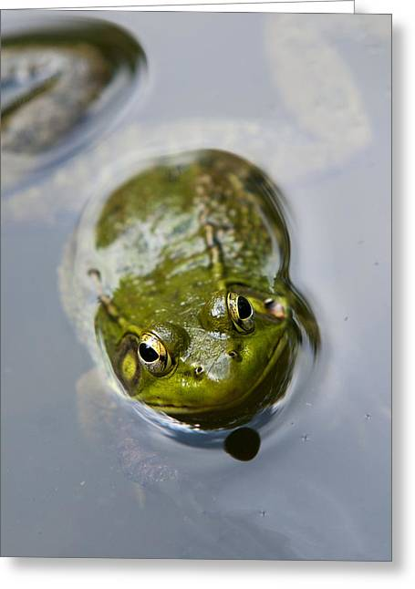 Green Frog Greeting Cards - Emerging Green Greeting Card by Christina Rollo