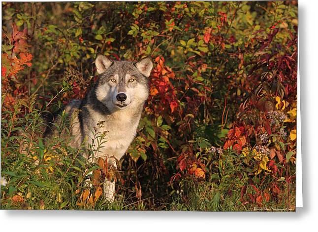 Emerging Wolf Greeting Card by Daniel Behm